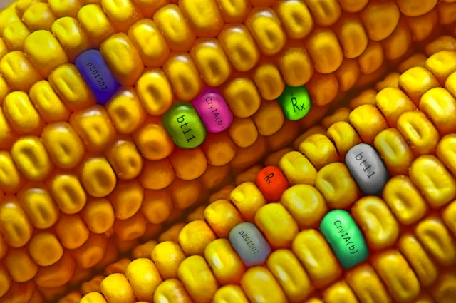 Essay about gmo food